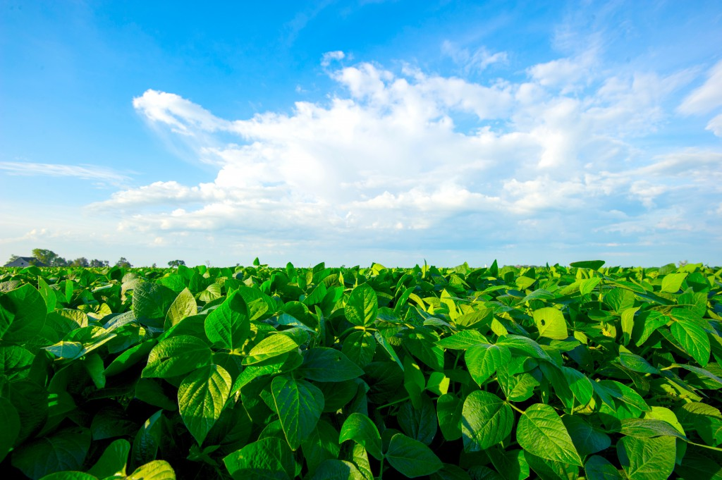 20130808_soybeans_008